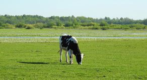 Cow animal in flood field, Lithuania Royalty Free Stock Images