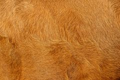 Cow fur or hair, brown and golden royalty free stock photos