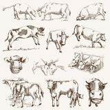 Cow. animal husbandry Stock Photos
