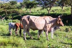 Cow Animals Stock Image