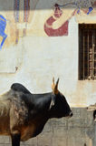 Cow & Wall Painting, Mandawa, Rajasthan, India. Mandawa is a town in Jhunjhunu district of Rajasthan in India. It is part of Shekhawati region. Mandawa is known stock photography