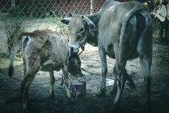 Cow ans calf royalty free stock photos