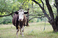 Cow in the apple orchard. Cow is tied to a tree in the apple orchard royalty free stock images