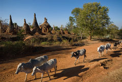 Cow around the stupas near  Inle lake in Myanma Stock Image