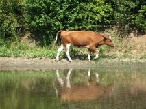Cow is ashore. Canicular sunny day, a cow grazes ashore, cow goes ashore stock photos