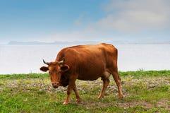 Cow ashore. Cows pasturing ashore of lake Royalty Free Stock Images