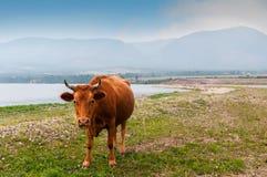 Cow ashore. Cows pasturing ashore of lake Stock Photo