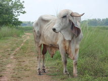 Cow from asia. Asian cow on the road royalty free stock photography