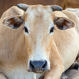 Cow asia Stock Photography