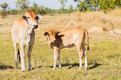 Cow asia animal forest Stock Images