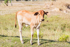 Cow asia animal forest Stock Photography