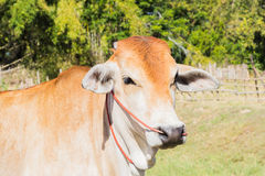 Cow asia animal forest Royalty Free Stock Photo