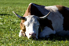 Cow asleep Royalty Free Stock Photos