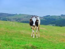 Cow in asturias stock photos