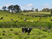 Cow in an Australian landscape Stock Photos