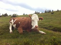 Cow in austria. Cow on highland in austria Royalty Free Stock Photography