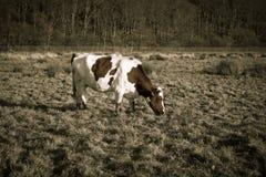 Cow on autumn grass Royalty Free Stock Photo