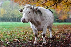 Cow with autumn landscape. Royalty Free Stock Photos