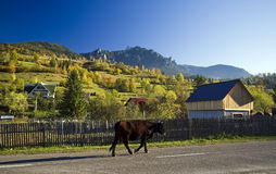 Cow in autumn landscape Stock Photography