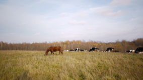 Cow autumn landscape Stock Photo