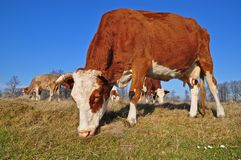 Cow on an autumn pasture Royalty Free Stock Photo