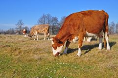 Cow on an autumn pasture Stock Image