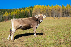 Cow in autumn. Cow in Val di Scalve, Alps mountains, Italy Royalty Free Stock Images