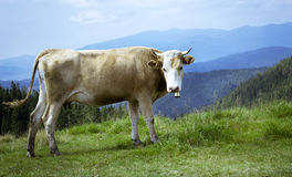 Cow on the background of the Carpathian Mountains. Cow on the background of the morning Carpathian Mountains royalty free stock photo