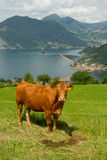 Cow with the background of the floating piers, Christo Royalty Free Stock Image