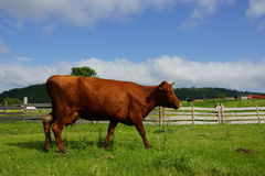 Cow. On a background of green mountains Royalty Free Stock Photography