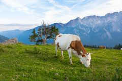 Cow on a background of mountains Stock Image