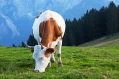 Cow on a background of mountains Royalty Free Stock Photo