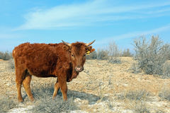 Cow in Badland. Hungry Braun Cow in Badland Royalty Free Stock Photos