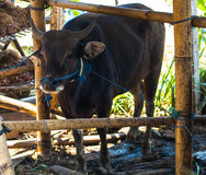 Cow in bamboo stall Royalty Free Stock Photo