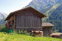 Cow by barn in Austrian Alps Royalty Free Stock Photography
