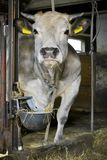 Cow in a barn Royalty Free Stock Images