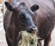 Cow In Barnyard. Cow eating hay in barnyard Stock Photography