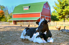 Cow in barnyard. Holstein cow in barnyard with geese and chickens Stock Images