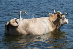 The cow is bathed Royalty Free Stock Photography