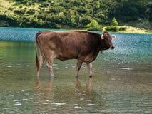 Cow. Bathing cow in Tirol (Austria Stock Photos