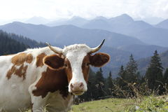 Cow in the bavarian alps Stock Images