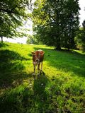 Cow. In Bayern Royalty Free Stock Image