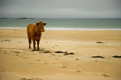 Cow on beach Stock Image