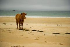 Cow on beach Stock Image