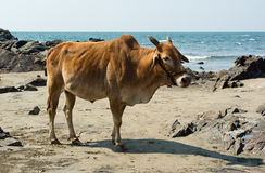 Cow in beach. Indian cow in the beach of Arabian sea, Goa Stock Photography