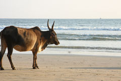 Cow at the beach Royalty Free Stock Images