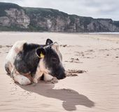 Cow at the beach, Antrim Royalty Free Stock Image