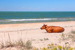 Cow on the beach Stock Image