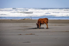 Cow on the beach, Chiloe Island, Chile Royalty Free Stock Photography