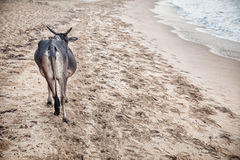 Cow on the beach in India Stock Photos